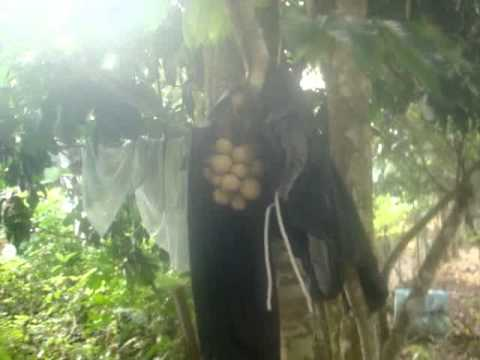ini lah cara yg betul menjaga buah dokong