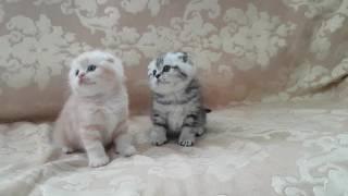 Шотландские вислоухие котята(скоттиш фолд)