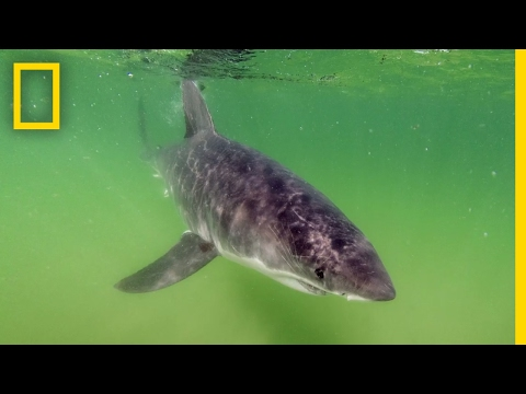 Great White Shark Photo Shoot: Don't Try This At Home | National Geographic