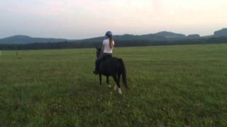 Trawel Black Rose - Welsh Mountain Pony (A)