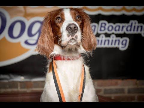 Heidi - Irish Red & White Setter - 3 Weeks Residential Dog Training