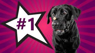 The Labrador Retriever  America's Favorite Dog Breed!