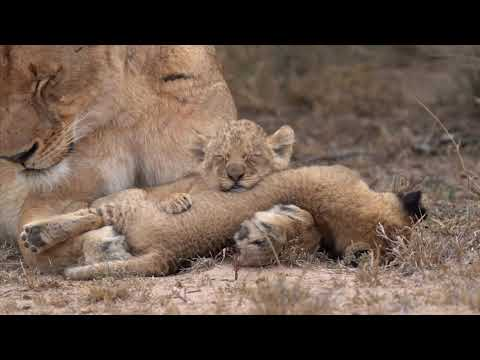 Lion cubs playing with mom