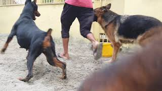 Top Quality German Shepherd and Doberman| Sanarp Kennel  in Kolkata