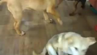 Схватка Бордоского дога Добермана и Маламута Bordeaux dog VS Doberman VS Alaskan Malamute