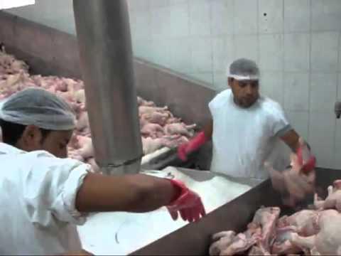 Rare footage visit to kosher slaughterhouse