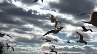 more seagulls in heavy wind