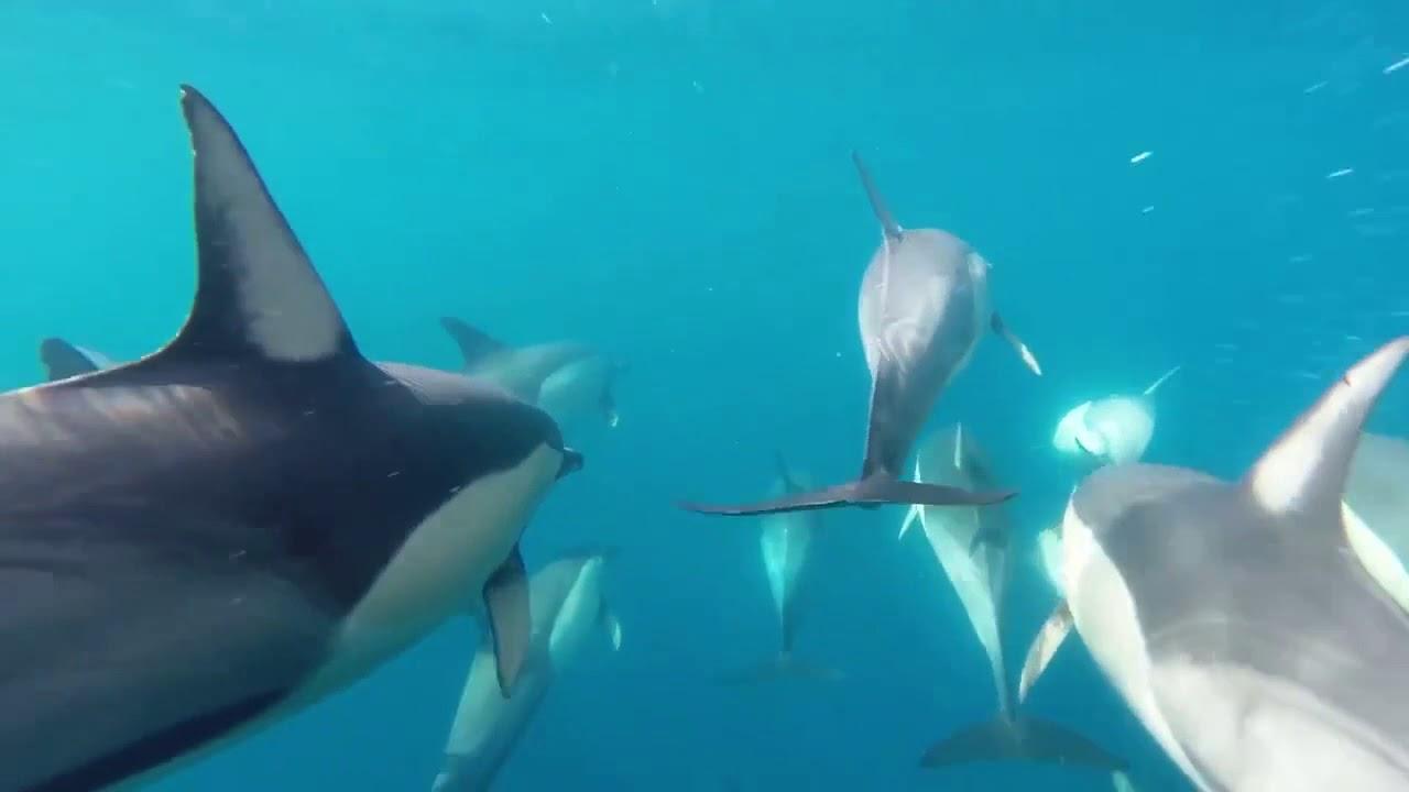 video Dolphin Swim Port Stephens