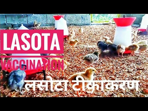 poultry chicken LAsota newcastle vaccination pagbakuna sa lasota 