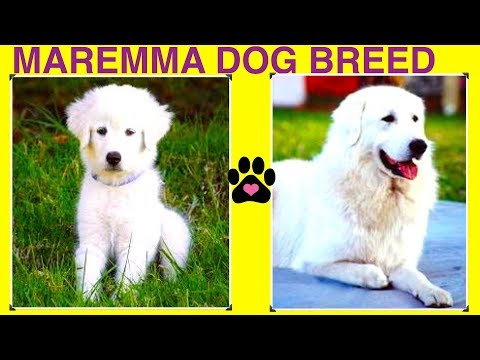 MAREMMA SHEEPDOG BREED - DIY Dog Info by Cooking For Dogs