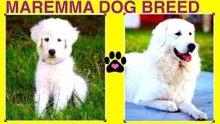 MAREMMA SHEEPDOG BREED  DIY Dog Info by Cooking For Dogs