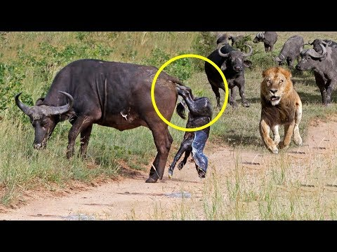 Mother Buffalo Gives Birth To Baby But Killed By Lions - Lion vs Buffalo Battle is not never - Ruslar.Biz