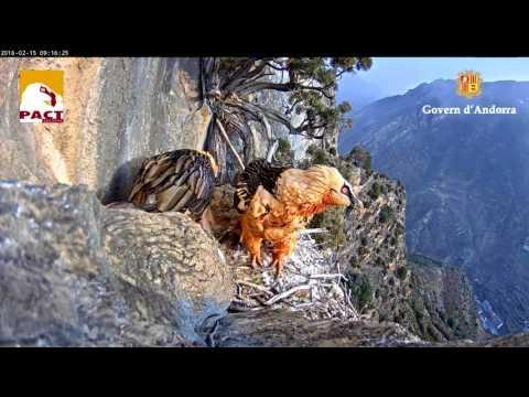 Nest of Gypaetus Barbatus