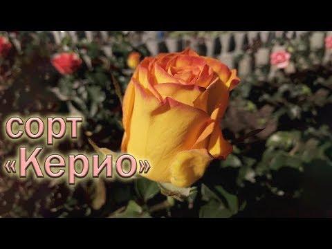 Обзор чайно-гибридных роз сорта Керио