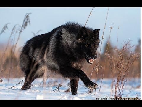 National Geographic Documentary - Wild Black Wolf's Secret Life - BBC Wildlife Animal