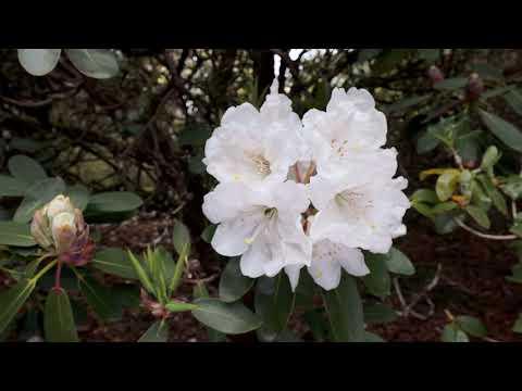 Late flowering rhododendrons - Caerhays Estate