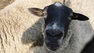 сколько лет живут романовские овцы????