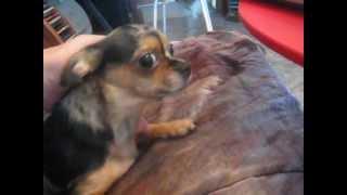 Веснушка Мраморная чихуахуа собака чишка мерле