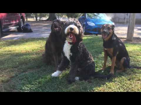 1 Year Old Bernedoodle 'Bruce' Before/After Video   Top Rated Georgia Dog Trainers