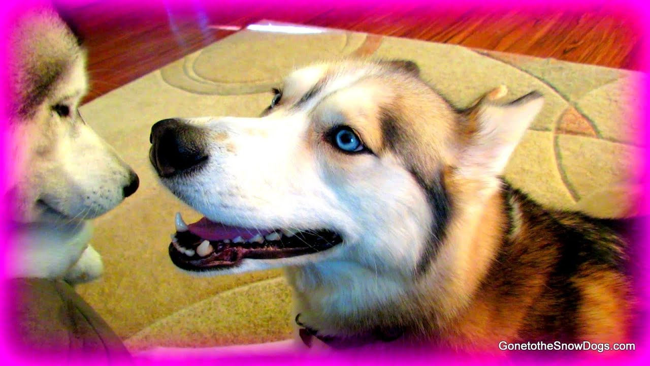 Huskies In An Apartment Fanfriday 146
