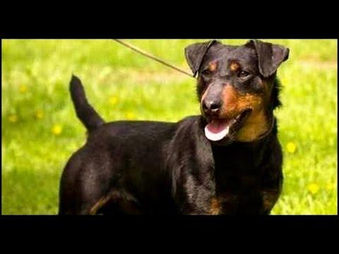 Jack terrier aleman pelo corto
