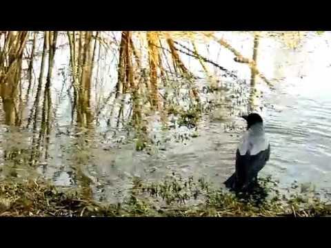 Вопрос: Зачем вороны купаются в лужах?