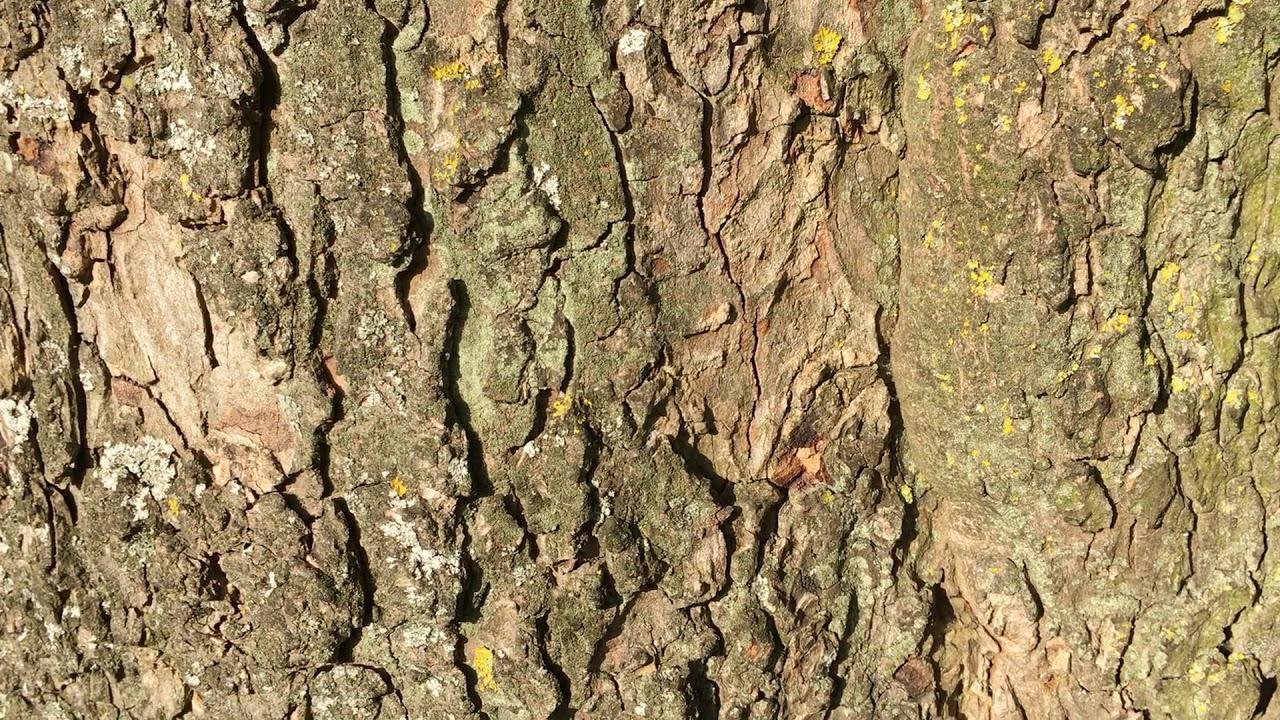 Sicomoro (Acer pseudoplatanus) - corteza de cerca - junio de 2018 - YouTube
