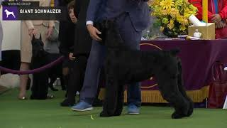 Giant Schnauzers | Breed Judging 2020