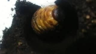 我が家で飼っているカブトムシの幼虫が蛹になる瞬間を録れました! 使用...