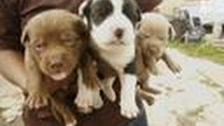 Overrun With Puppies | Pit Bulls and Parolees