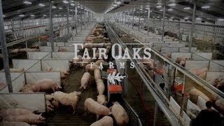 SCHAUER Agrotronic Equipment - Pig Adventure, Fair Oaks Farm