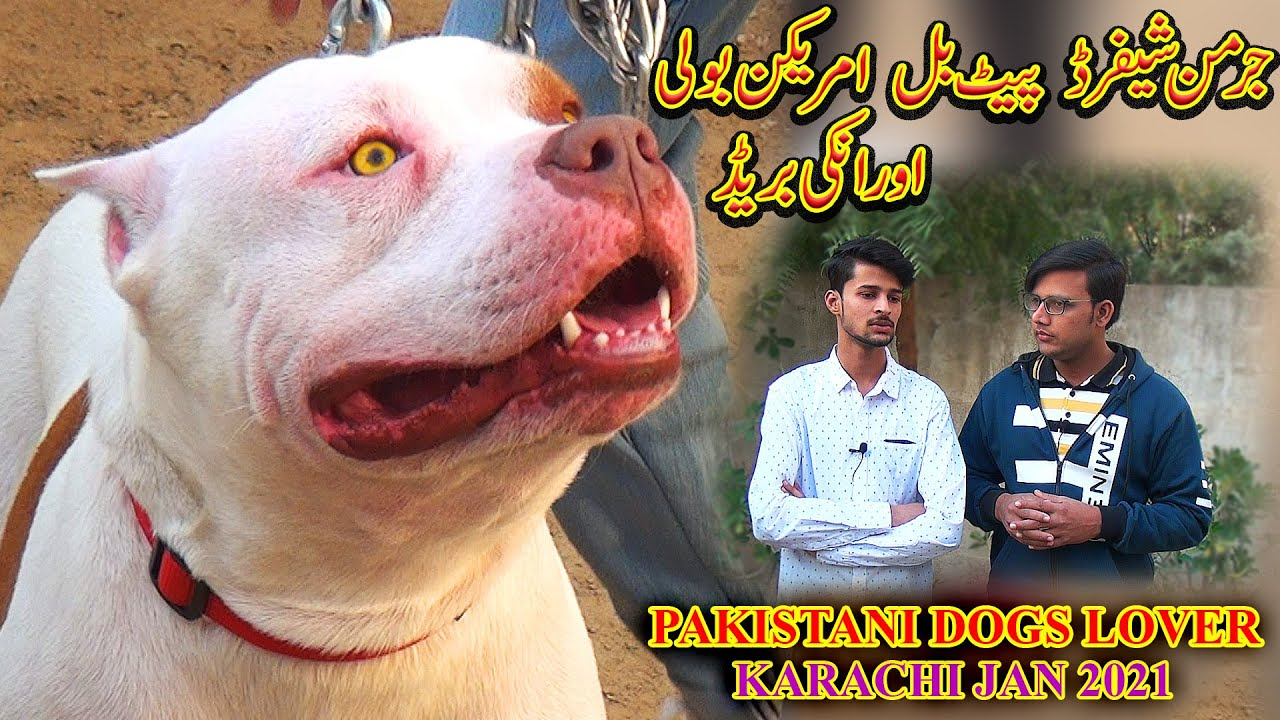 Pakistani Dogs Lovers American Bully American Pit Bull Terrier German Shepherd and Puppies