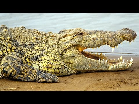 Nile Crocodiles Captured in Florida