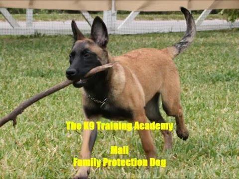 Family Protection Dog _ Mali_ The K9 Training Academy
