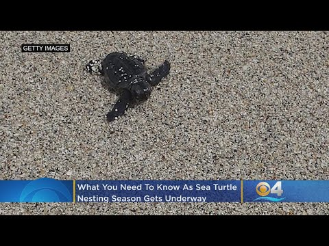 What You Need As Sea Turtle Nesting Season In Florida Gets Underway