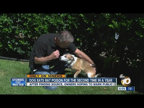 Dog Eats Rat Poison For Second Time In A Year