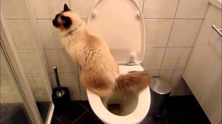 Yedi, Toilet trained cat, Final stage for #1