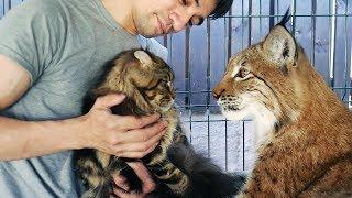 РЕАКЦИЯ РЫСИ НА МЕЙН-КУНА МИСУ В ВОЛЬЕРЕ. Тренинг кота Мартина