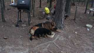 Karson, German Shepherd Stud Sharing Food With Puppies - Von Der Otto German Shepherds