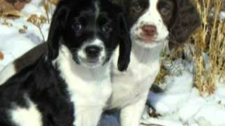 Hellfire Filed Bred English Springer Spaniel Puppies