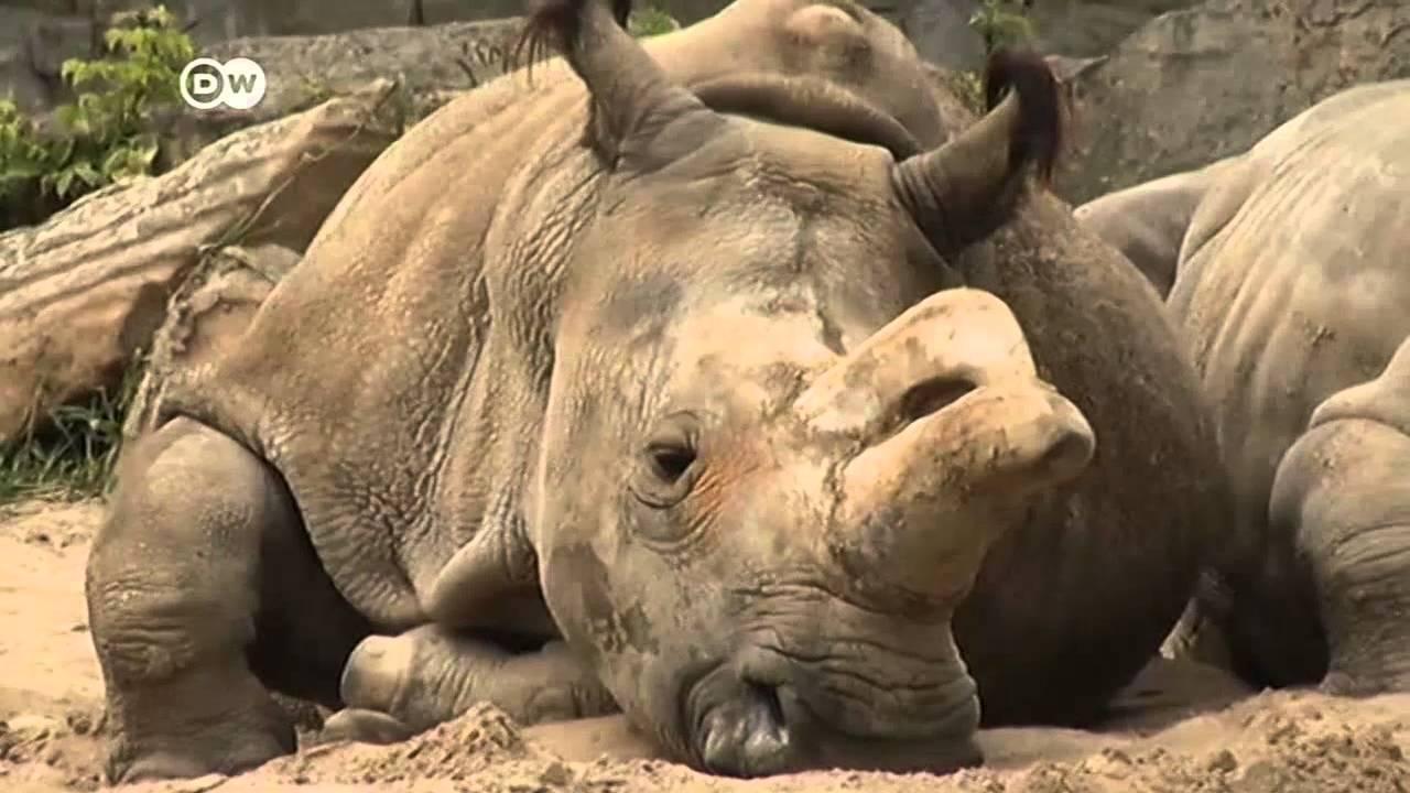Resultado de imagen para sudan el rinoceronte