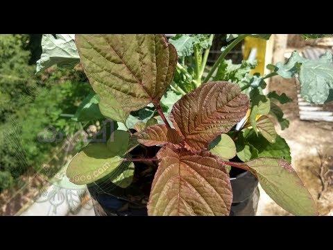 ഉള്ളിത്തോല് കൊണ്ട് ജൈവ വളം - onion peel as natural fertilizer for vegetable plants