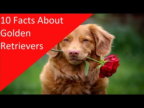 10-facts-about-golden-retriever-dog-breed-(dogs-101)