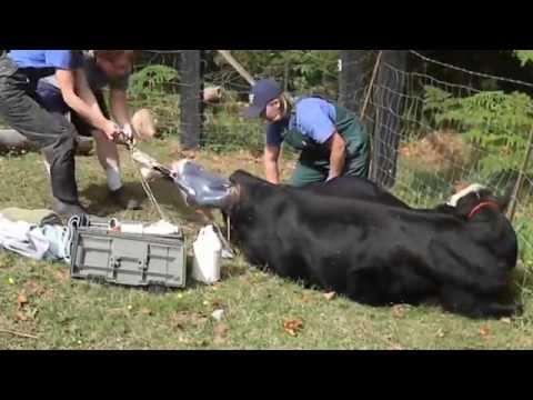 Birth of Baby Calf