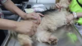 An Older Male Terrier Cross Can't Stand On His Hind Limbs - 1/4