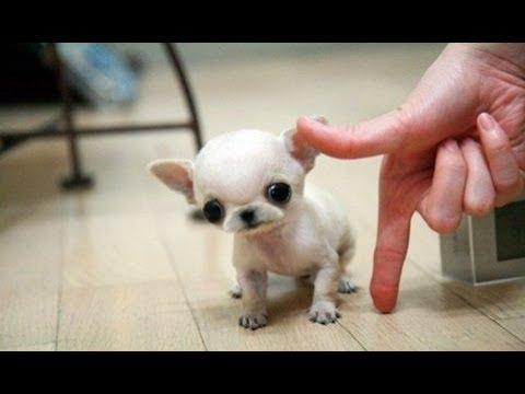 Las 10 Razas De Perros Más Pequeños Del Mundo