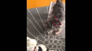 Bethany The Mini Schnauzer