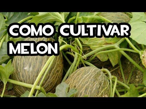 C mo cultivar mel n huerta org nica youtube for Como cultivar plantas ornamentales