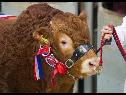 British Limousin Bulls (top 20 bulls prices 10k - 65k) at Carlisle 17/2/18