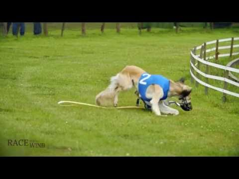 Race the Wind 41 - Greyhound Track (Osnabrück/Germany) • Saluki Levrier Carreras السلوقي كلب الصيد